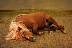 Sooooo good............. (Anna.Andres) Tags: horses anna horse iceland stallion sland icelandichorse icelandichorses slenskihesturinn canoneosrebelt2i peregrino27life annagumundsdttir