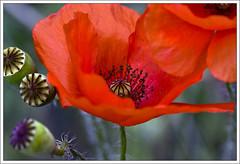 Poppies (ekropka) Tags: red flower spring poppy poppies mak kwiaty wiosna czerwony canon40d ekropka