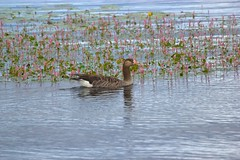 Goose and Flowers (Martin Hugne) Tags: summer bird geese sweden goose sommar 2011 fagel gas gass gragas
