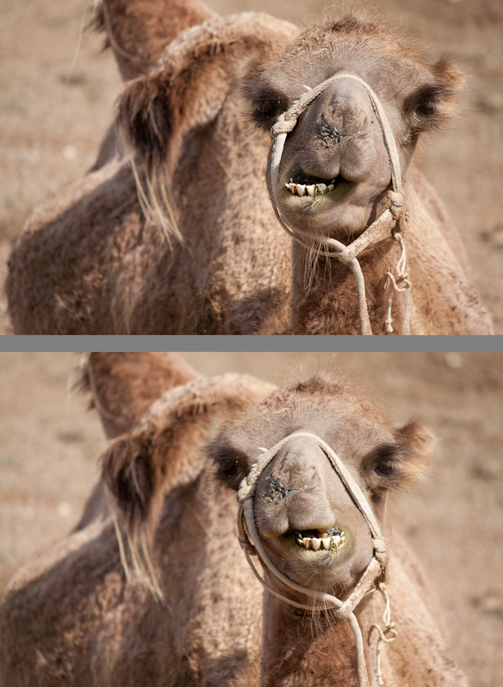 Camel Chew