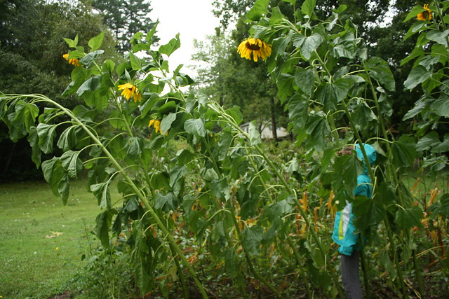 sunflowers after irene