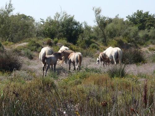 camargue biale konie