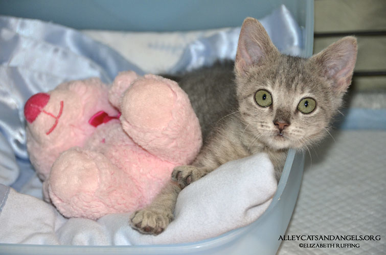 Miracle kitten from Alley Cats and Angels Rescue of North Carolina, photo by Elizabeth Ruffing