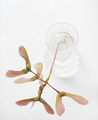 Textured Japanese Maple (Bruus UK) Tags: stilllife white plant flower macro texture water glass flora pentax seeds japanesemaple vase