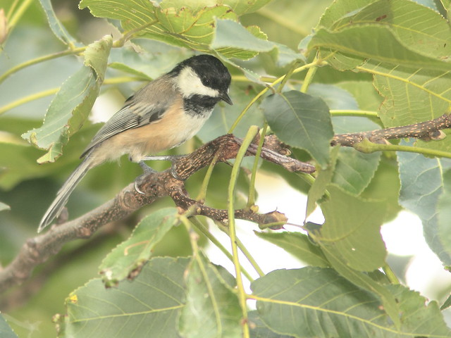 Black-capped Chickadee 20110902