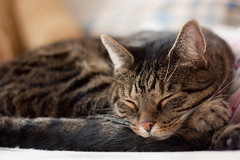 The Lion sleeps tonight (Skley) Tags: house cat photography photo european foto fotografie creative picture commons cc creativecommons shorthair katze bild licence kreativ kurzhaar stubentiger lizenz europische skley dennisskley