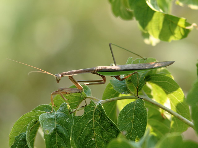 Praying Mantis 20110903