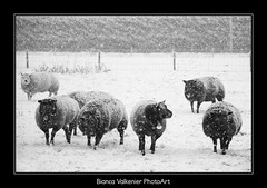 BVF171210-2536zw (Bianca Valkenier PhotoArt) Tags: winter snow season sneeuw nederland natuur dieren sheeps winters landschap schapen kou koud gelderland sneeuwvlokken betuwe seizoen winterlandschap sfeervol winterweer wely sneeuwoverlast