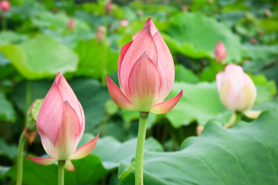 Photos from a lotus plantation in south korea mightylinksfo Image collections