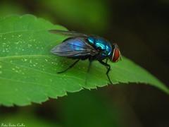 Varejeira azul (Eudes Coelho) Tags: mosca varejeira