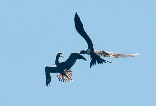 Frigate Attacking Brown Booby