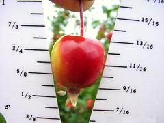 G.16 Apple Measure
