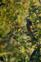 Common Yellowthroat DSC_0214 by Mully410 * Images