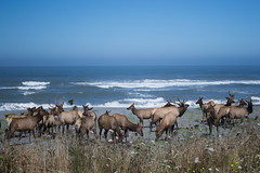 Rutting Elk on a beach--a great thing to show guests visiting from out-of-country! It was our fi...