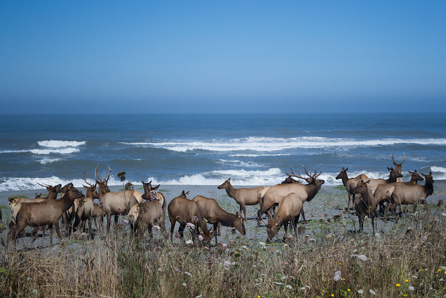 Elk on a Beach by Shaina Niehans