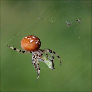 photo boillon christophe /macro macro araignée & nature / le dîner d'une araignée dans la pénombre d'un sous-bois un soir de septembre