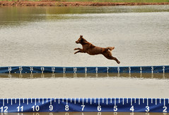 000 Alice (The_Little_GSP) Tags: dog jump dock pond maryland bigair flyingdog jumpingdog dockdogs lilypons adamstown chesapeakedockdogs littlegspphotography