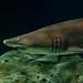 Filé de requin
