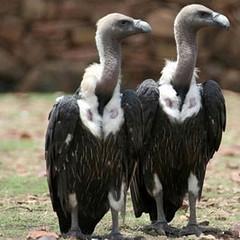 報告顯示白背禿鷹、長嘴禿鷹和細嘴禿鷹的存活數量仍舊十分危險。圖片 節錄自:英國衛報報導/Devki Nanda/RSPB/PA。