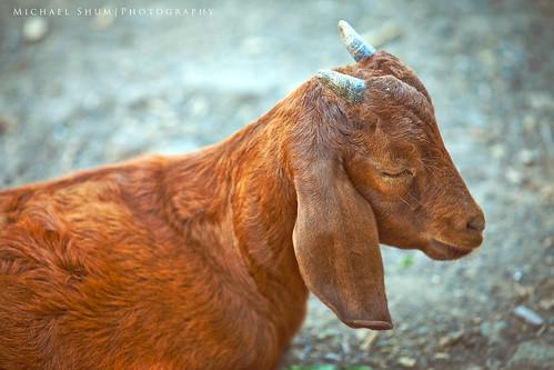 365.123 Meditative Goat