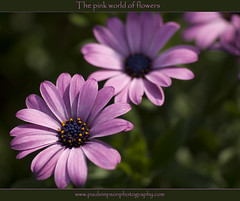 Three pink flowers (Paul Simpson Photography) Tags: flower macro sunshine petals pollen autumnflowers naturephotography pinkflowers macroflowers osteospermum flowerphotos threeflowers flowerphotography natureimages normanbypark flowerimage calendarimages september2011 photosofnature paulsimpsonphotography calendarphotography