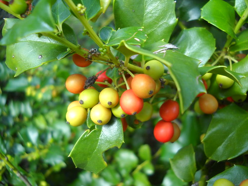 ripening holly berries