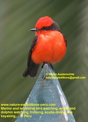 Vermillion flycatcher Birding Peru (8) (Nature Expeditions 06) Tags: trip vacation urban bird peru nature birds holidays tour lima birding stefan andes trips guide vermilion peruvian vermilionflycatcher flycatcher sanisidro pyrocephalusrubinus expeditions tyrannidae pyrocephalus rubinus elolivar birdguide lomasdelachay pantanosdevilla natureexpeditions birdinginperu austermhle birdingperu birdinginlima flycatchersofperu