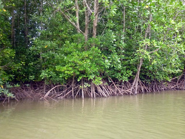 Kayaking Mangroves in Phuket