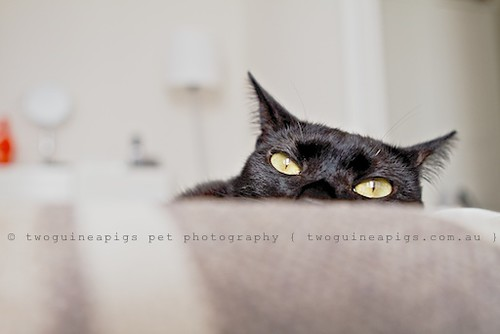 Ninja PF, portrait of a Sydney black cat by twoguineapigs Pet Photography.