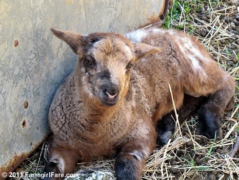 Random lamb snaps 2 - lambing season 2011 - FarmgirlFare.com