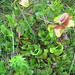 Pitcher plants, green