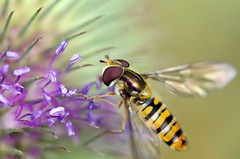 Hover Fly (Mike Serigrapher) Tags: macro insect fly sigma hoverfly hover diptera 105mm insecta episyrphus balteatus episyrphusbalteatus themacrogroup