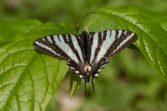 Zebra Swallowtail Photo