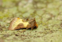 Burnished brass (amylewis.lincs) Tags: uk england macro nature animal insect nikon britain wildlife moth sigma lincolnshire british invertebrate 180mm 2011 trapping d3000 diachrysiachrysitis