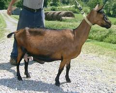 OBER-BOERD SATURN - B001325861 (Erin Cooper Young Living) Tags: goat doe american saturn dairy genetics oberhasli adga 110813 goat:sex=doe goat:registry=american goat:breed=oberhasli b001325861 goat:regnumber=b001325861 oberboerd goat:regname=oberboerdsaturn
