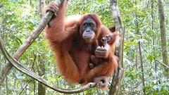 一對從獵人手中救出的母子,目前收容於蘇門答臘Bohorok紅毛猩猩中心。照片來源: Hulman Simangunsong網路相簿