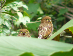 Jungle Owlet Couple (SivamDesign) Tags: bird fauna lumix backyard couple pair panasonic jungle barred owlet jungleowlet glaucidiumradiatum fz8 dmcfz8 barredjungleowlet