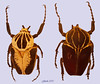 Goliath beetles (Girish Chandra) Tags: africa coconut beetles goliath pests coleoptera goliathus goliathbeetles largestinsects
