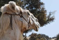 Dromedario (foncoppen) Tags: animal grancanaria spain desert dromedary camel desierto animaux animale camello spagna deserto cammello canarie dromedario chameaux animaldeldesierto