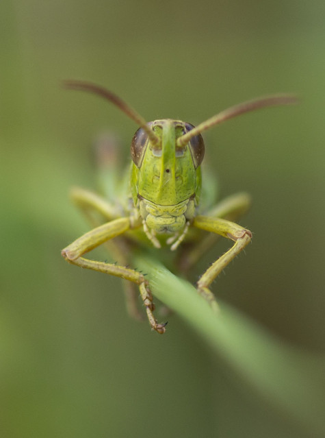 Grasshopper head on