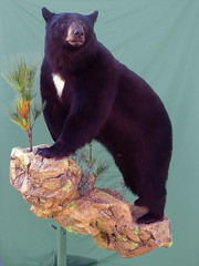 "Bear Taxidermy • <a style=""font-size:0.8em;"" href=""http://www.flickr.com/photos/27376150@N03/6059847149/"" target=""_blank"">View on Flickr</a>"