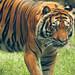 Tiger at Chapultepec