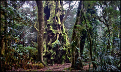Treebeard The Ent, Tree Shepherd (a777thunder (Thanks for your support)) Tags: rainforest australia np springbrook borderranges queenslans thebestofalllookout articbeech