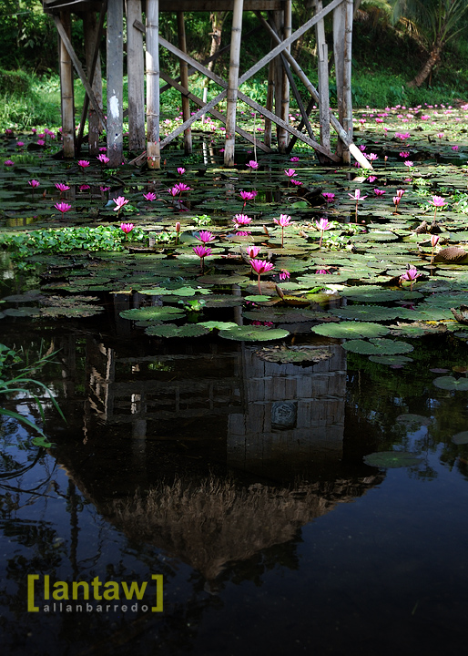 Reflections and Lotus Flowers
