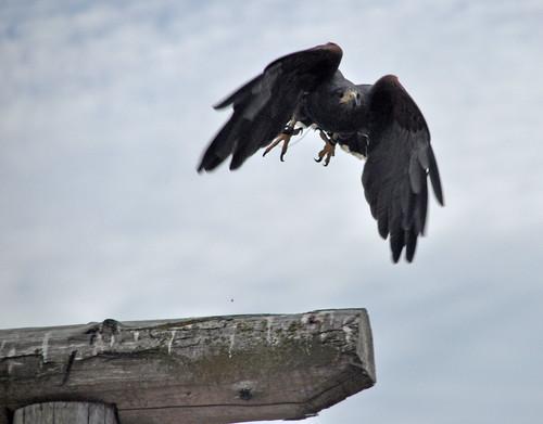 Harris Hawk inbound