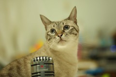 20110824__0120 (kenty_) Tags: cat ancient siamese gif