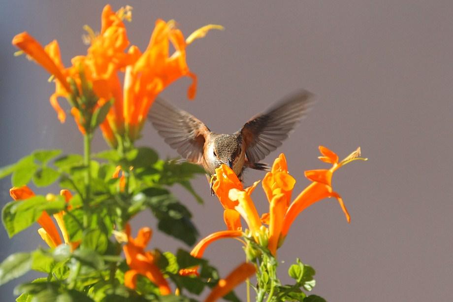 Allen's Hummingbird 082411