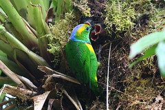 Costa Rica (joeksuey) Tags: santa bridge cloud bird forest costarica nest reserve elena hanging monteverde biological 2011 goldenbrowed chlorophonia joeksuey