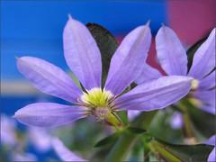 Purple Fan Flower