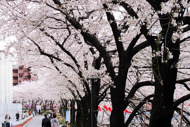 110409_161644_目黒川_桜